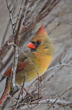 Beautiful lady cardinal