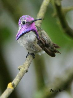 Costa's Hummingbird in Gibsons, BC by Penny Hall Photography, via Flickr