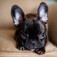 So very cute!!! I don't know how people say these dogs are ugly....... Would you say Frenchies for life...?