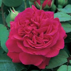 Tess of The d'Urbervilles English Roses   (English Rose Collection) Bred By David Austin Color Red / Crimson Flower Type Double/Full Bloom Size Tall Shrub Short Climber Hardiness Hardy Fragrance Medium Repeating Excellent