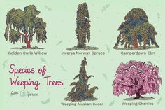 19 Best Types of Weeping Trees Conifer Trees, Trees And Shrubs, Flowering Trees, Shade Shrubs, Shade Trees, Shade Plants, Boxwood Garden, Garden Trees, Garden Plants
