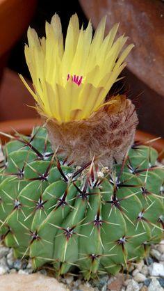 P1160010 Notocactus buiningii