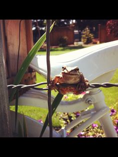 Frog. This little guy was just hanging out on my garden fence watching me pull weeds.