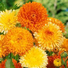 Cut Flowers, Wild Flowers, Seeds For Sale, Home Garden Plants, Hardy Plants, Homeopathic Remedies, Garden Seeds, Calendula, Zinnias