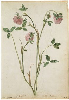 Jacques Le Moyne de Morgues  born 1533 - died 1588  A Red Clover   ca. 1575 Watercolour and bodycolour