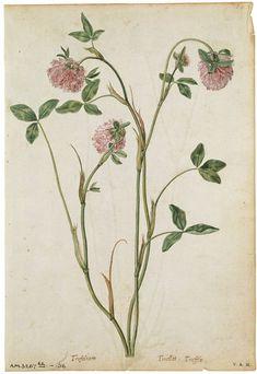 Jacques Le Moyne de Morgues  born 1533 - died 1588  A Red Clover   ca. 1575 Watercolour and bodycolour