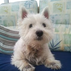Harry, the most loving Westie ever before he went to heaven.  submission from pensandpixels