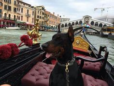 Doberman enjoying Venice