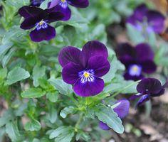 viola sorbet plum velvet