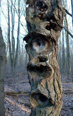 strange sassafras tree photo