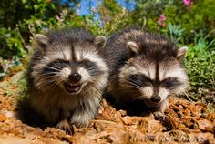 laughing coons