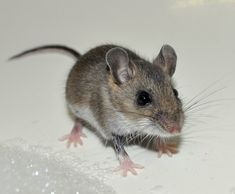 House Mouse (Mus musculus). An invasive found all over North America, having been brought over with the first colonists. Remember to rodent proof your home, and never feed, pet, or handle wild mice.