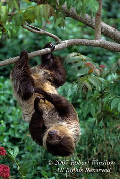 Two-Toed Sloth (Choloepus didactylus), Amazon Basin to Central America