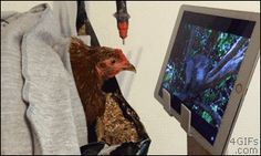 """4gifs: """"Strawberry, the hen, watches TV while recovering from an injury. [video] """""""