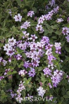 Lavender Swirl® Trailing Lantana featured in Episode 4 of 'Home Free' on FOX.