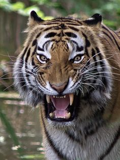 Sibirischer Tiger (Panthera tigris altaica) by Renate Schleuter Nature Animals, Animals And Pets, Cute Animals, Tiger Pictures, Animal Pictures, Big Cats, Cool Cats, Panthera Tigris Altaica, Tiger Roaring