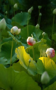 ~~First Blush ~ lotus blooms on my pond.The Koi love to hide in them..