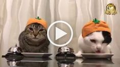 Funny Cats Compilation Most See Funny Cat Videos 2017 A funny animal is an anthropomorphic animal ch Funny Cat Compilation, Funny Cat Videos, Funny Cats, Funny Memes, Cat Memes, Cat Ring, Basket Ball, Cat Hat, Animais