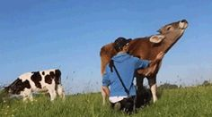 Cows Are Sweet When You Treat Them Nicely