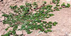 La verdolaga es una planta medicinal conocida desde la antigüedad que está ganando en popularidad en los últimos años debido a las propiedades que contiene que la hacen ser un superalimento. Anuncios Esta planta crece en muchas partes del mundo durante la época cálida e incluso se la ha considerado como una mala hierba como …