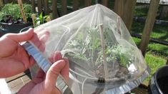 Protecting Kales & Collards Using Tulle Fabric Squares: No Cabbage Loopers or Caterpillars.