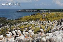 Puffin breeding colony