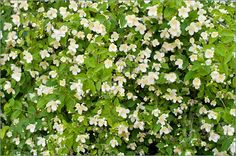 Jasmine bush absolute favorite smell outside i have so ahhhh the sweet smell of jasmine yes please mightylinksfo