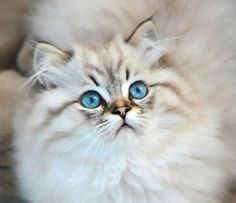 British Longhair Seal Tabby Point