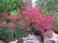 Red BuckWheat is a hard-to-find goof-proof evergreen it thrives on neglect & prefers dry, clay soil! One of the best butterfly magnets around, it blooms June-October.