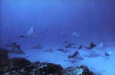 School of Eagle Rays. SCUBA diving with Manta Lodge and Scuba Centre on North Stradbroke Island.  We celebrate the amazing dive sites we have on Straddie allowing us to interact with these amazing creatures