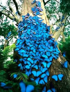 How beautiful! Blue morpho butterflies congregate on a tree. There are over 80 species of butterflies in the genus Morpho. They are tropical butterflies found mostly in South America as well as Mexico and Central America. Morpho Butterfly, Blue Butterfly, Butterfly Tree, Mariposa Butterfly, Morpho Azul, Beautiful Creatures, Animals Beautiful, Beautiful Butterflies, Science And Nature