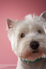 West Highland Terriers Art - West Highland Terrier, Close-up by Chris Amaral