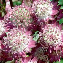 Astrantia - major Star of Beauty - Les Vivaces du Merle Bleu Types Of Flowers, Cut Flowers, Beautiful Flowers, White Flowers, Herbaceous Perennials, Hardy Perennials, Shade Garden, Garden Plants, Astrantia Major