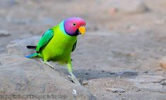 This lovely looking lad is a male Plum-headed Parakeet, a common, noisy as hell, widespread Asian species that is nonetheless delightfully attractive and entertaining, no matter how many times one gets to see them. Rich Lindie photographed this bird in the fabulous Ranthambore National Park, where they are particularly tame.