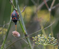 Florida predatory stink bug feeding on brown stink bug on bronze fennel