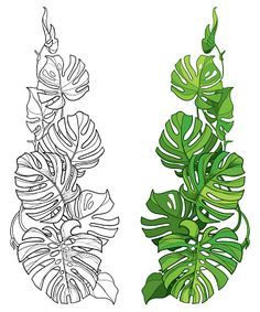 Vector set with outline tropical Monstera or Swiss cheese plant leaf bunch in black and green isolated on white background. Ornate contour Monstera foliage for summer design or jungle coloring book. Flower Art Drawing, Leaf Drawing, Plant Drawing, Outline Drawings, Art Drawings, Leaf Outline, Plant Tattoo, Mural Wall Art, Plant Art