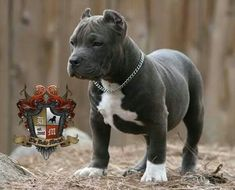 Bully dog breeds are a must-have for any dog lovers who want a lovable dog as a pet. Choosing which Bully breed dogs can be difficult if you don't know the various traits and characteristics of a Bully dog. Pitbull Terrier, Amstaff Terrier, Bull Terriers, American Bully, Cute Puppies, Cute Dogs, Dogs And Puppies, Doggies, Big Dogs
