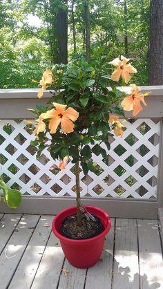Overwintering plants - Hibiscus