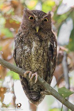 Chocó Screech Owl (Megascops centralis)