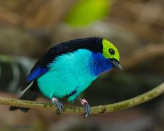 Paradise Tanager (Tangara chilensis) by SARhounds, via Flickr
