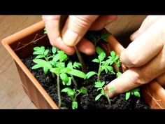 Рассада помидор в домашних условиях: как вырастить рассаду томатов на подоконнике |
