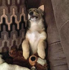 The Daily Puppy  Freyja the Swedish Vallhund