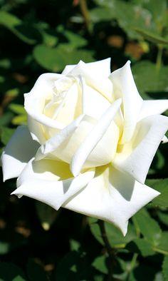 Marvelous Edelrose Polarstern Diese Edelrose ist fterbl hend und edelgeformt Ihre Bl te ist reinwei sehr