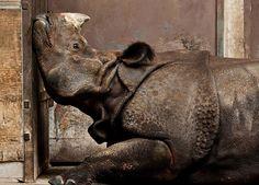 gagnants concours de photo national geographic 2013 rhinoceros   Les gagnants du concours de photo National Geographic 2013   photo national...