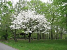 dogwood at giant city state park, southern illinois