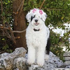"""Miss Luna Pearl is ready for Valentine's Day in her """"My Funny Bunny"""" bows. Whoever she chooses as her Valentine will be one lucky pup!   @lunatheportie"""