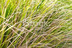 Tussock Grass Background Royalty Free Stock Photo Grass Background, Abstract Photos, Native Plants, Image Now, Simply Beautiful, Flora, Royalty Free Stock Photos, Photography, Photograph