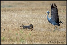 An interesting encounter between blue cranes and a Cape fox family in Cape Town. My Sister, Crane, South Africa, Fox, Bird, Dancing, Paradise, Animals, Facebook