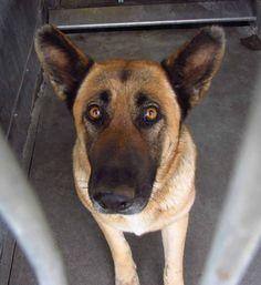 #OWNERSURRENDER #BALDWINPARK #CA ID: A058846 4 YEAR OLD FEMALE #GERMANSHEPHERD BALDWIN PARK SHELTER 4275 ELTON ST 626-430-2378 https://www.facebook.com/EmeraldCityPetRescue.org/posts/10203198641987400