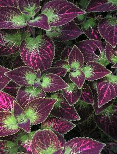 coleus florida sun jade tall description sun loving coleus are known . Florida Flowers, Plants, Shade Plants, Florida Plants, Garden Vines, Trees To Plant, Florida Gardening, Cool Plants, House Plants